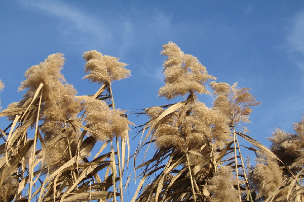7miscanthus.png